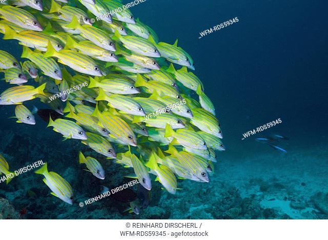 Shoal of Bluestripe Snapper, Lutjanus kasmira, Ellaidhoo House Reef, North Ari Atoll, Maldives