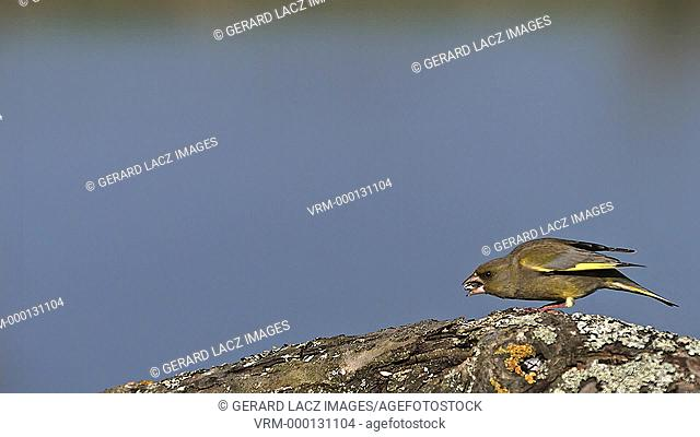 European Greenfinch, carduelis chloris, Adult in Flight, Fighting, Normandy, Slow motion