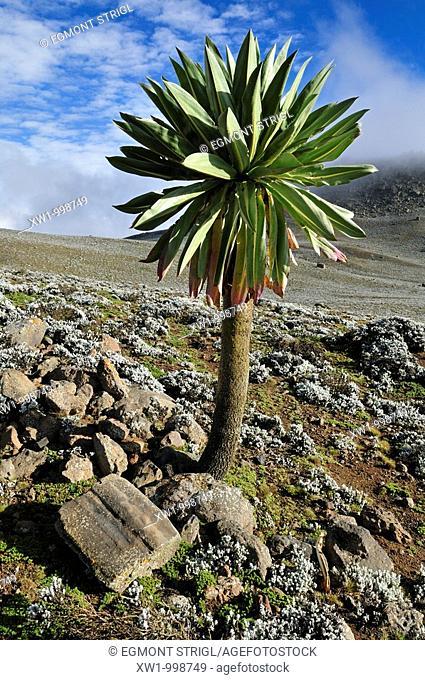 giant Lobelia on the Sanetti Plateau, Bale Mountains National Park, Oromia, Ethiopia, Africa