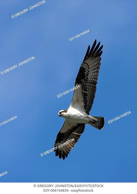 An osprey flies up high in the bright blue sky