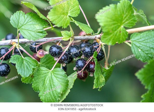 Blackcurrants (Ribes nigrum) growing on a vine ,Bialystok, Poland