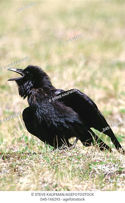 Common Raven (Corvus corax). Denali NP. Alaska. USA