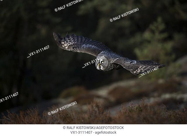 Great Grey Owl / Bartkauz ( Strix nebulosa ) in hunting flight above a clearing, at the edge of boreal woods, noiseless gliding flight