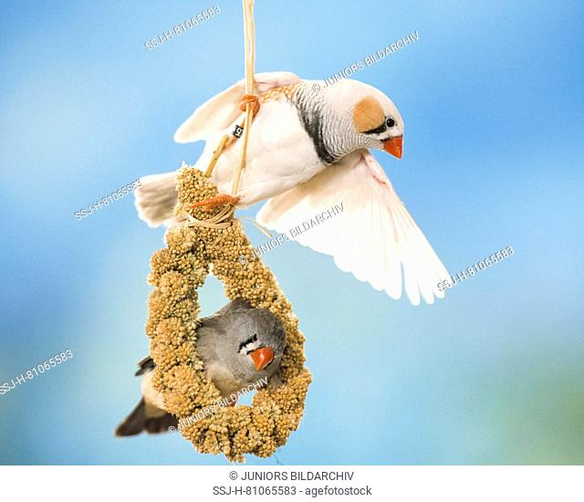 Zebra Finch (Taeniopygia guttata), Two adults on millet spray. Germany