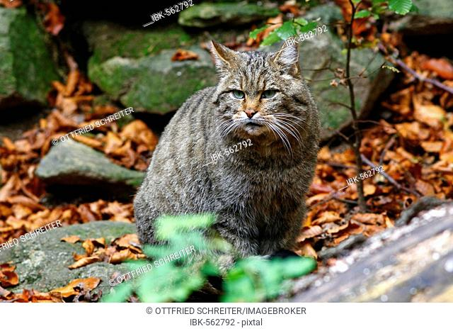 European Wildcat (Felis silvestris), outdoor enclosure Bavarian Forest, Germany