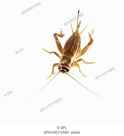 Bush cricket (subfamily Tettigoniinae)