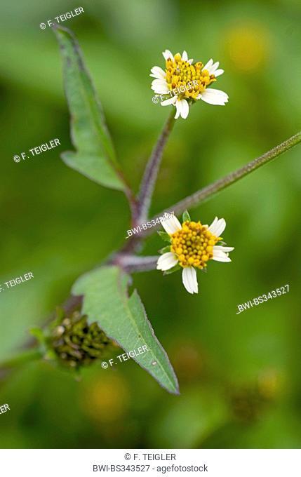 Hairy beggarticks (Bidens pilosa), blooming