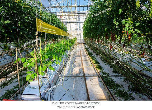 Delftland, Netherlands. Growing tomatoes bound for export, inside an agri-industrial greenhouse