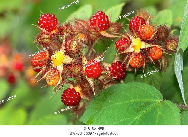 wine raspberry, wineberry (Rubus phoenicolasius), fruits