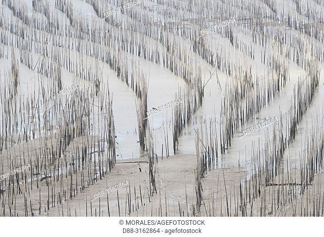 China, Fujiang Province, Xiapu County, Fishing poles, Bamboos at low tide, Bamboos used for fishing, aquaculture