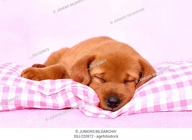 Labrador Retriever. Puppy (5 weeks old) sleeping on a pink and white checkered blanket. Germany. Studio picture seen against a pink background