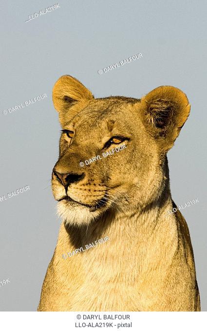 Close-up Portrait of a Lioness Panthera leo  Masai Mara National Reserve, Kenya