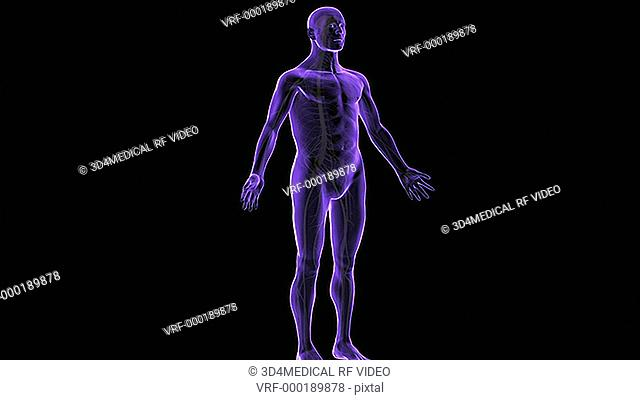 An animation of ascending spinal pathways. The camera zooms in to show anterior view of spinal cord. Sensory information travels via spinal cord to the brain