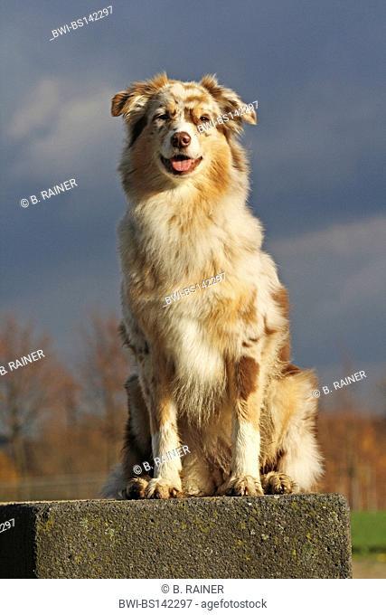 Australian Shepherd (Canis lupus f. familiaris), female sitting on a stone, Germany