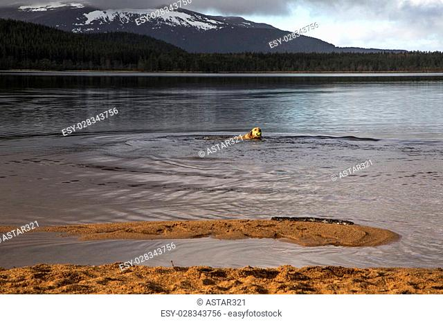 A shot of a dog swimming in Scottish loch