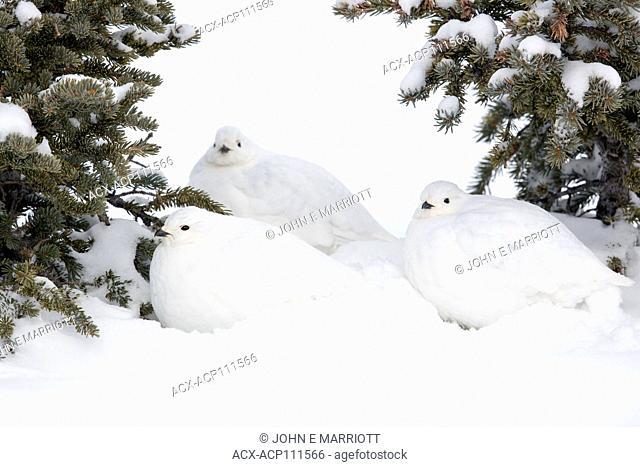White-tailed ptarmigan, Lagopus leucura, huddled together Alberta, Canada