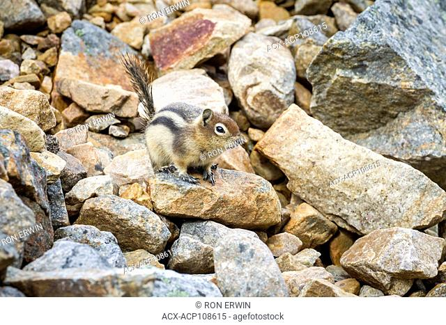 Golden-mantled Ground Squirrel (Callospermophilus lateralis), Jasper National Park, Alberta, Canada