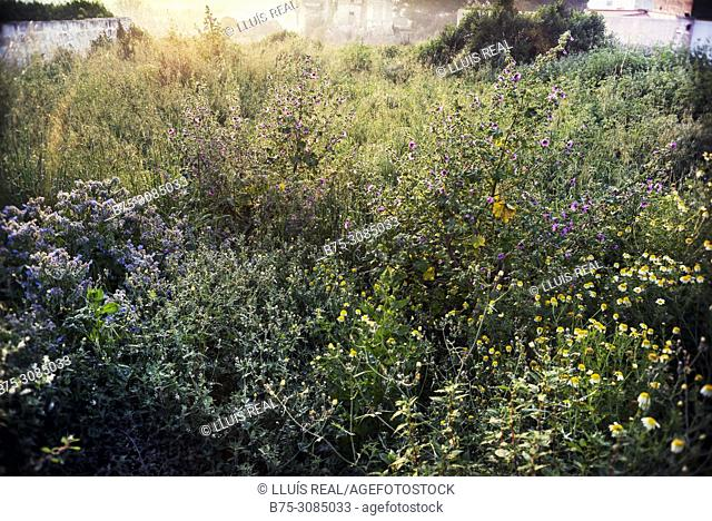 Wild flowers at sunrise. Mahon, Menorca, Baleares, Spain
