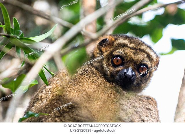 A common Brown Lemur in Andasibe forest in Eastern Madagascar