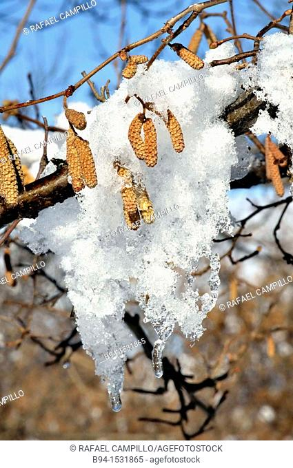 Hazel (Corylus avellana) male catkins with snow. Osseja, Languedoc-Roussillon, Pyrenees Orientales, France