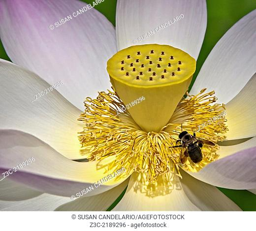 Lotus blossom flower close up with a bee