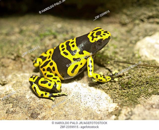 Yellow-Banded Poisonous frog. Dendrobates Leucomelas. Amajari,Tepequem mountains, Roraima state, Brazil