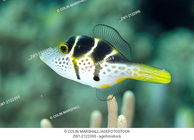 Mimic Filefish (Paraluteres prionurus) at Tanjung Muara dive site off Sermata Islands near Alor in eastern Indonesia