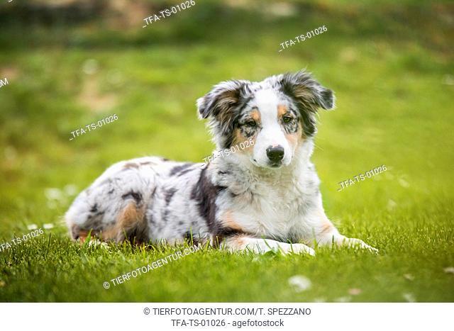 young Australian Shepherd
