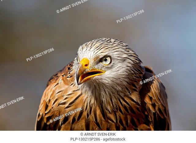 Red Kite Milvus milvus close up of head