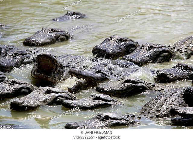 UNITED STATES OF AMERICA, HOMESTEAD, 20.08.2012, American alligators (Alligator mississippiensis) in a breeding pond at an alligator farm near the Florida...