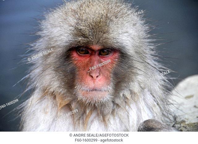 Japanese macaque, Macaca fuscata, Jigokudani Monkey Park, Joshinetsu Kogen National Park Yamanouchi, Shimotakai, Nagano, Japan
