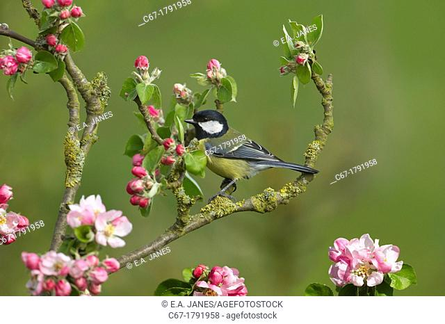 Great tit Parus major on apple blossom