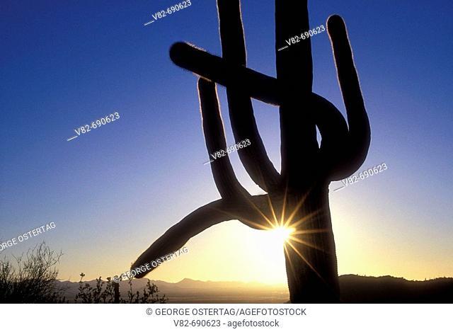 Saguaro silhouette w/sunburst on Hugh Norris Trail, Saguaro National Park-Tucson Mountain District, Arizona, USA