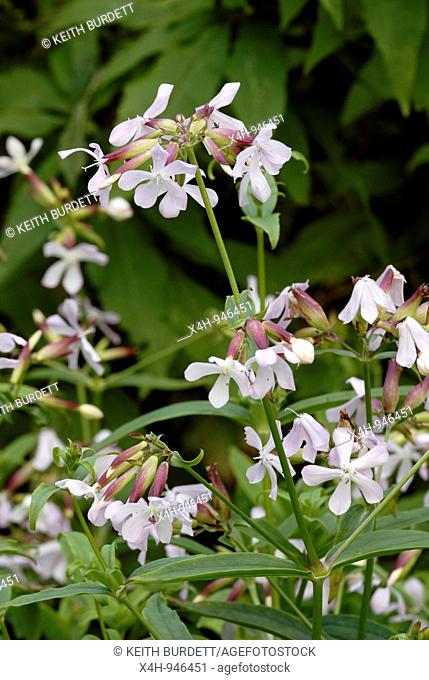 Soapwort flowers, Saponaria officinalis, Wales