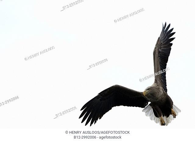 White-tailed Sea-eagle flying (Haliaeetus albicilla), Japan