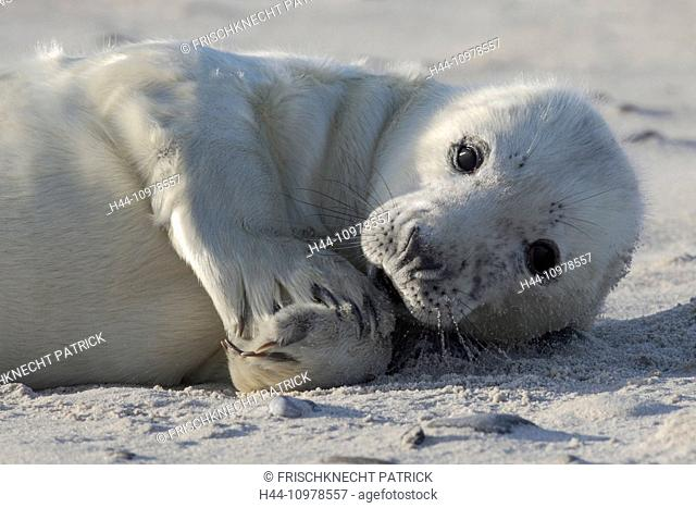 Baby animal, Germany, Europe, fin, Halichoerus grypus, Helgoland, dune, island, isle, young, grey seal, coast, Lanugo, sea, marine mammal, nature, newborn