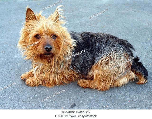 Australian Terrier Bitch