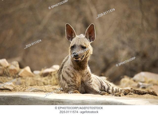 Striped Hyena, Hyaena hyaena, Jhalana, rajasthan, India