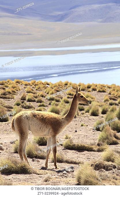 Chile, Antofagasta Region, Andes Mountains, Laguna Miscanti, vicuna, vicugna vicugna, fauna,