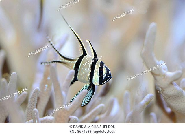 Close-up of a Banggai cardinalfish (Pterapogon kauderni) fish