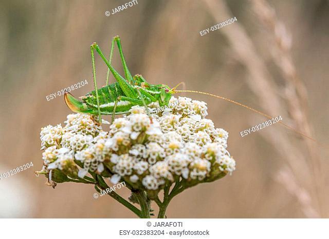 Green Grasshopper with white stripe (Leptophyes albovittata) on white flower