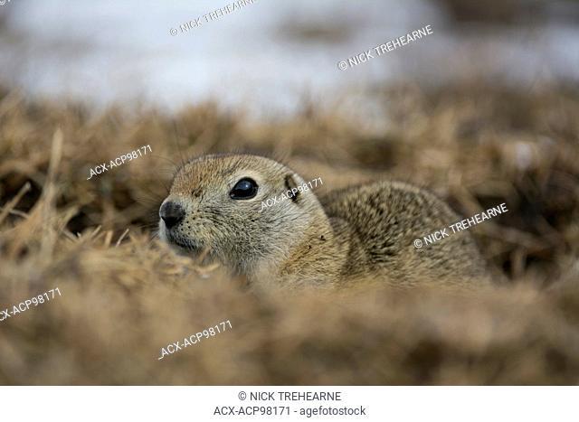 Urocitellus richardsonii, Richardson's Ground Squirrel, Alberta, Canada