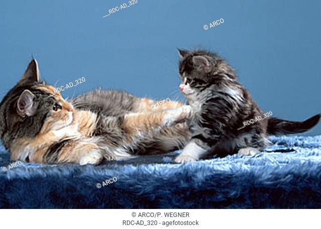 Norwegian Forest Cat playing with kitten