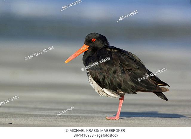 Variable oystercatcher (Haematopus unicolor), Coromandel Peninsula, North Island, New Zealand
