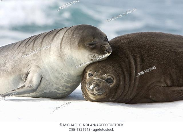 Newborn southern elephant seal Mirounga leonina on the beach at President Head on Snow Island in the South Shetland Island Group