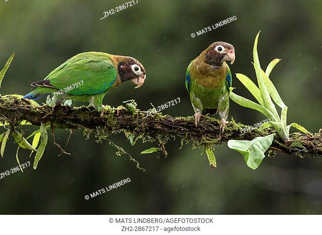 Two Brown-hooded parrot, Pyrilia haematotis, sitting in a tree at Laguna del Lagarto, Boca Tapada, San Carlos, Costa Rica