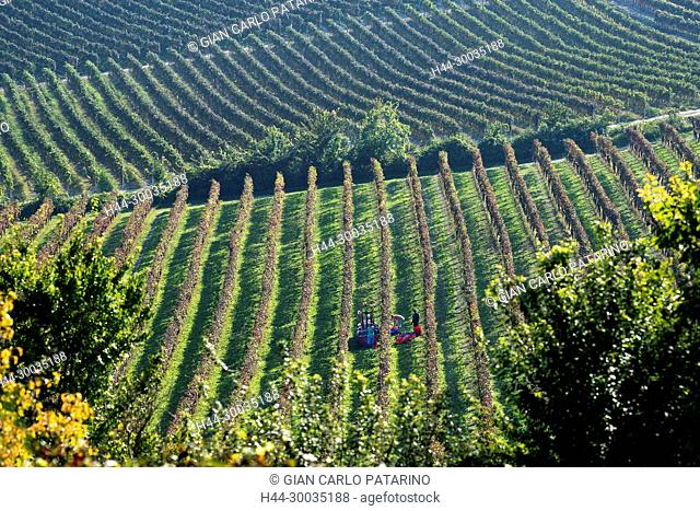 Italy, panorama of vineyards of Piedmont Langhe-Roero and Monferrato on the World Heritage List UNESCO. The harvest Italy, Piedmont, Vineyards