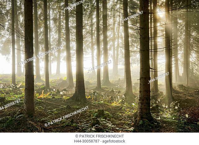 Wood with fog patches, Schwyz, Switzerland