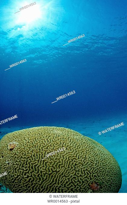 Great Brain Coral, Madreporaria, Caribbean Sea, British Virgin Islands