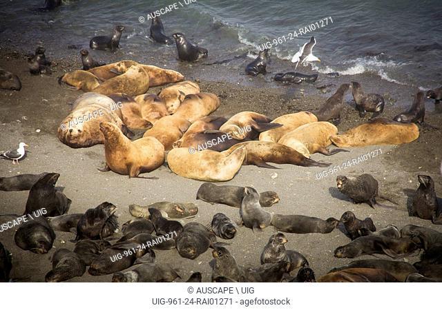 Northern fur seals, Callorhinus ursinus, bull and harem on beach, and many pups. Tyuleniy Island, Kuril Islands, Russia. (Photo by: Auscape/UIG)